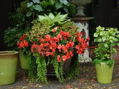 Solenia orange begonia is a great performer.  Properly watered, they will bloom heavily the entire summer.  They have succulent juicy stems that will rot if they are overwatered.  If you put your finger in the dirt-and the dirt sticks, wait to water.  Lime green is represented in the pots, creeping jenny, and the irisine in the right hand pot.  Lime and orange is a combination guaranteed to wake you up.