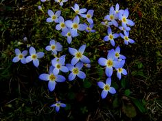 """Bluet - have these all over my spring """"lawn"""" - so pretty Woodland Flowers, Woodland Garden, Over The River, Garden In The Woods, Ponds, Garden Paths, Wildflowers, Curb Appeal, Dried Flowers"""