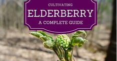 Sambucus, also called elderberry, or simply elder, is a genus of flowering shrub that is both wild and cultivated in much of the wor...