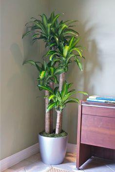 Corn Plant - Houston Interior Plants