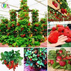 600 db vörös óriás Hegymászás eper magok Gyümölcs Seeds otthoni és kerti DIY ritka magok bonsai Ingyenes házhozszállítás