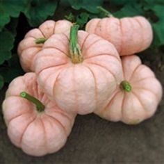 Porcelain Doll Pink Pumpkin from NESeed. Porcelain Doll is an Exotic Pink Pumpkin perfect for fund raising October activities. This Pink Pumpkin is very eye-catching for all Holiday decorations. Porcelain Doll's deep-orange, sweet flesh can be used for