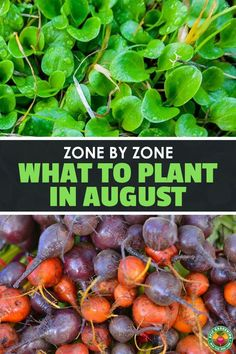 Get a head start on your fall garden by learning what to plant in august for your particular USDA Hardiness Zone. Winter Vegetables, Planting Vegetables, Growing Vegetables, Veggies, Fall Crops, Winter Crops, Veg Garden, Lawn And Garden, Vegetable Gardening