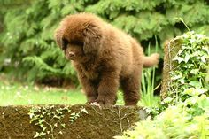 Cute little brown Newfy baby!
