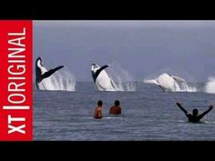 Whales!...WOW, 3 EMERGING AND JUMPING AT THE SAME TIME!