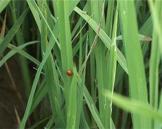 Sâu bệnh lây lan mạnh trên lúa