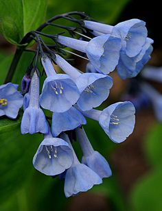 Mertensia virginica (common names Virginia bluebells, Virginia cowslip, lungwort oysterleaf, Roanoke bells) is a spring ephemeral plant with bell-shaped sky-blue flowers, native to eastern North America. All Flowers, Exotic Flowers, Amazing Flowers, Beautiful Flowers, Blue Bell Flowers, Virginia Bluebells, Horticulture, Trees To Plant, Perennials