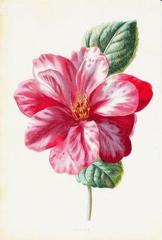 1887 Antique FLOWER print color lithograph by TwoCatsAntiquePrints, $19.50