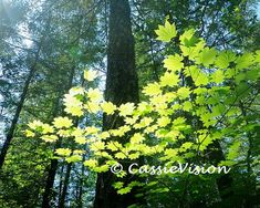 8x10 Forest Sunlight Vine Maple Trees Pacific by CassieVision