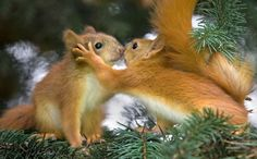 This might be squirrel love, or they could be conspiring where to hide their acorns? They 'talk' through a series of shrill sounds and chirps with the pitch, frequency and duration of sounds communicating everything from alarm to contentment. Photo by Desktop Hive