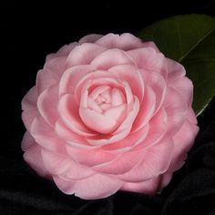 Pink Perfection (Japonica)