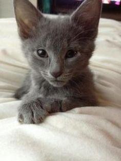 Huey Domestic Short Hair-Gray Cat | Chicago IL