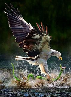 Eagle catching a water snake