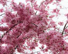 Fine Art Photography 8x10 Photograph Spring Cherry Blossoms Pink Nursery Home Decor on Etsy, $25.00