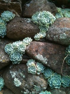 """Don't these """"hens & chicks"""" resemble a trickle of water cascading down the face of this rock retaining wall? Also notice how the color of the plants ..."""