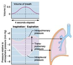 Air flow between the lungs and the environment occurs via a pressure gradient. This hub is on the changes in alveolar and pleural pressure changes in a breathing cycle and the resulting volume changes