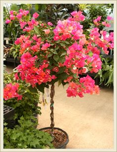 Bougainvillea plant care