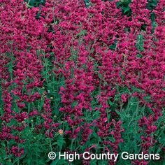 Agastache 'Ava' from High Country Gardens. A bit pricey, but I think I want to get 3 of them this year.  You can never have too much hummingbird mint!