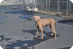 Santa Rosa, CA - Weimaraner/Labrador Retriever Mix. Meet Stoli, a dog for adoption. http://www.adoptapet.com/pet/11921316-santa-rosa-california-weimaraner-mix
