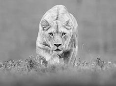 Lion predator, photo by Shlomi Nissim