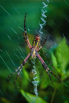 Argiope aurantia, aka black and yellow garden spider, corn spider, and writing spider