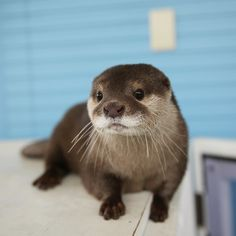 Wee otter
