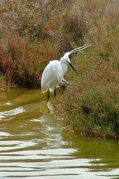 Little Egret, Ebro Delta Natural Park, Catalonia, Spain | Laura West
