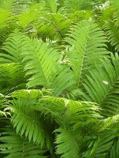 Gardening with Native Plants in Shady Evanston Ostrich Fern Part-Full Shade