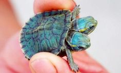 Baby turtle born with 2 heads -wow
