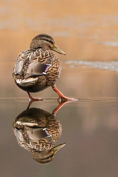 Reflections - female mallard