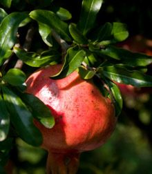 Pomegranate tree fruit & leaves