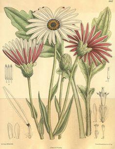 Plate 8162, Curtis' botanical magazine, 1907