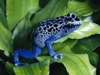Poison dart frog is the common name of a group of frogs in the family Dendrobatidae which are native to Central and South America. These species are diurnal and often have brightly colored bodies.