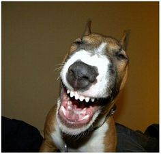 Smiling Bull terrier dog with teeth showing. Pretty sure that's a true LOL! Smiling Animals, Smiling Dogs, Happy Animals, Funny Animals, Funny Dog Photos, Funny Animal Pictures, Funny Dogs, Cute Dogs, Funny Images