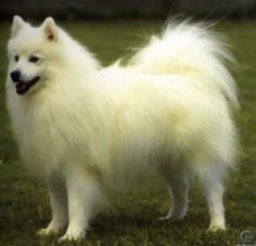 Japanese Spitz - what Oni (my first dog) is. I love him to pieces. He's the sweetest pet I've ever owned, and he'll do anything to protect us. <3