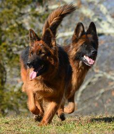 Long Coat German Shepherd Dogs by Grunwald Haus