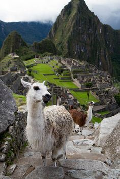 Llamas follow us on set of the South America Quest for Adventure at Machu Picchu
