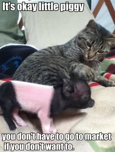 Funny cat piglet joke pic. For the best picture jokes visit www.bestfunnyjokes4u.com/funny-cat-pic-rofl-2/