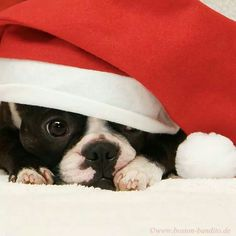 northeast boston terrier rescue we wish you a merry christmas