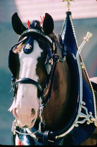 Budweiser-Clydesdales-1