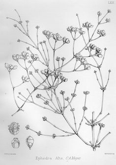Illustrations of the forest flora of North-West and Central India (1874)