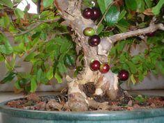 bonsai of jabuticabeira/jaboticabeira (Plinia cauliflora), genus Myrciaria, the fruit jabuticaba/jaboticaba grows on the trunk of the tree - another common name is Brazilian grape tree, in the USA.