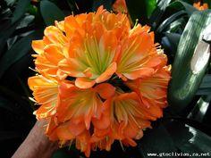 Clivia growers of distinction Arrow Keys, Close Image, Gardens, Plants, Planters, Tuin, Plant, Garden, Planting