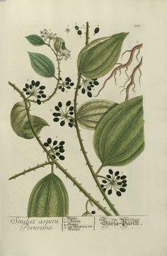 img/gravures anciennes de plantes medicinales/smilax aspera peruvana.jpg
