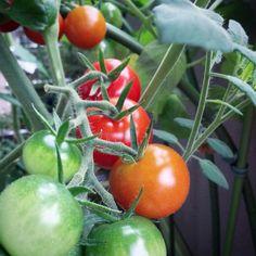 #ベランダ菜園 #トマト