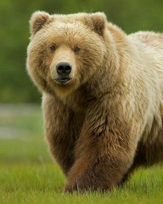 Grizzly ... a powerful beauty 📷 from dolores0403 on Pinterest 🖒 Love to tag? Please DO⤵