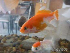 Peces de agua fría 30 pesos  En la variedad de criadero entran cometas oro, c ..  http://alejandro-korn.evisos.com.ar/peces-de-agua-fria-variados-colores-y-tipos-combo-de-10-medianos-id-941577