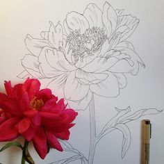 Flowers in Progress: ink drawings by Scientific Illustrator and artist Noel Badges Pugh.