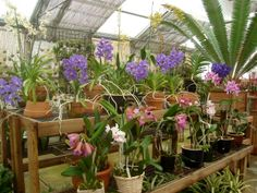 Vandas and cattleyas for sale. #orchids #MenloPark #gifts