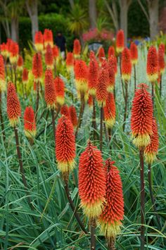 Kniphofia - Hot Poker Torch-Probably not a true flower, but I'll call it one anyway.